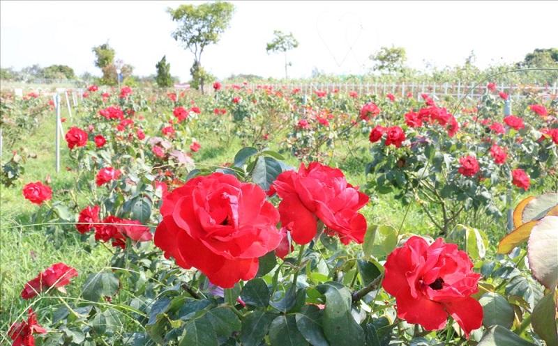 khu du lịch Cánh đồng hoa hồng Sa Đéc