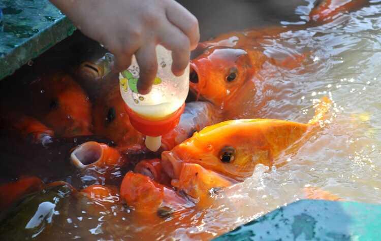 Cá Bú Bình