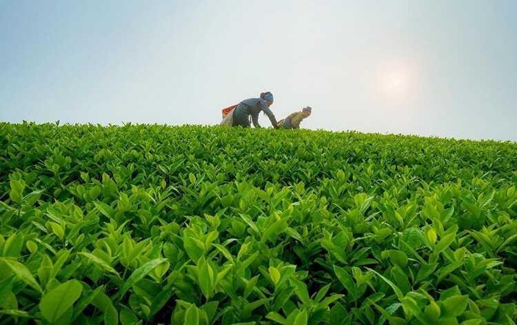 nông dân hái chè